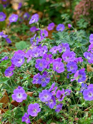 Rozanne perennial geranium!!  Such a superstar plant, lasts for months and will also cut and come again.. Slightly scrambling habit but this works well with the other plants