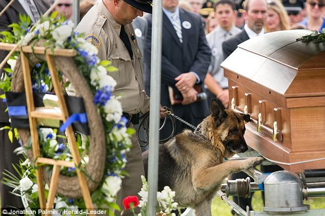 Heartbreaking: K9 officer Figo placed a paw on the casket of his fallen partner Jason Ellis Thursday. Ellis, a Bardstown, Kentucky police officer was killed in the line of duty after, police say, he was ambushed on a highway ramp