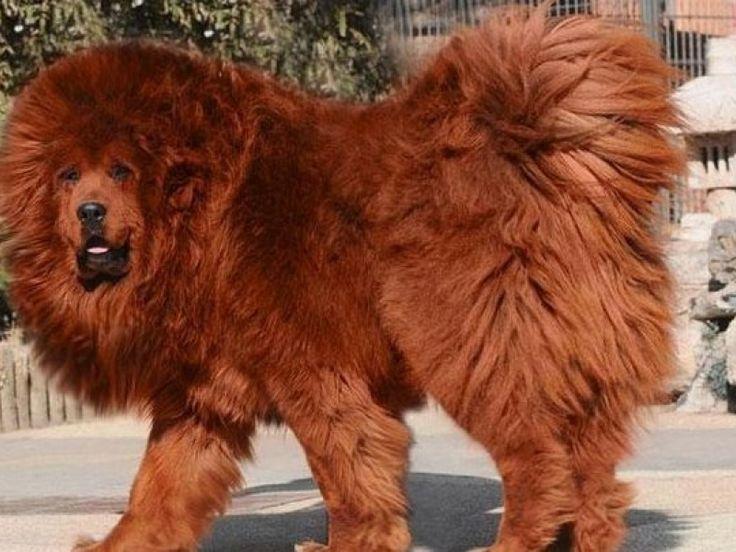 Relativ Les 25 meilleures idées de la catégorie Chiots dogue du tibet sur  WB55