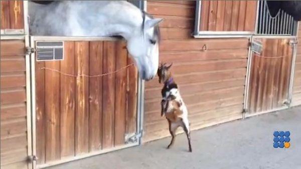 WebBuzz du 19/12/2016: Un chevreau tente de jouer avec un cheval-Baby goat tries to head-butt adult horse  Ce chevreau n'a trouvé aucun congénère pour jouer avec lui ...   http://www.noemiconcept.com/index.php/en/departement-informatique/webbuzz-tech-info/207587-webbuzz-du-19-12-2016-un-chevreau-tente-de-jouer-avec-un-cheval-baby-goat-tries-to-head-butt-adult-horse.html