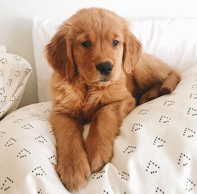 The Golden Retrievers In 2020 Puppies Golden Retriever Cute
