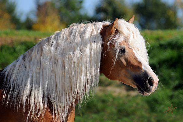 Ich Liebe Pferde Haflinger Pferde Schone Pferde