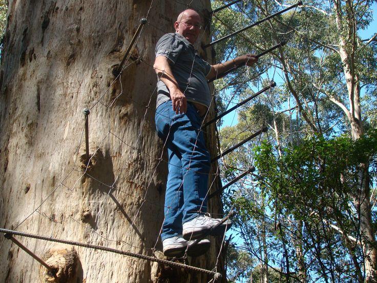Gloucester Tree Lookout ladder, Pemberton, Western Australia