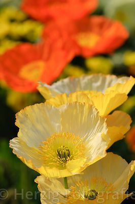 Photo Papaver Nudicaule Islandmohn By Tina Horst Herzig Photography Blumen Fotografie Bluhende Pflanzen Wunderschone Blumen