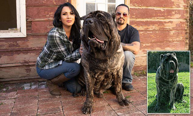 Dog Breeder Says He Has Resurrected Giant Guard Dogs Weighing 200
