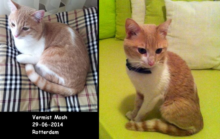 Mosh is vermist sinds 28-07-2014. Hij is laatst gezien in Rotterdam zuid. Het gaat om een kater van van 3,5 jaar oud http://www.amivedi.nl/DierDetail.aspx?MeldingId=914794