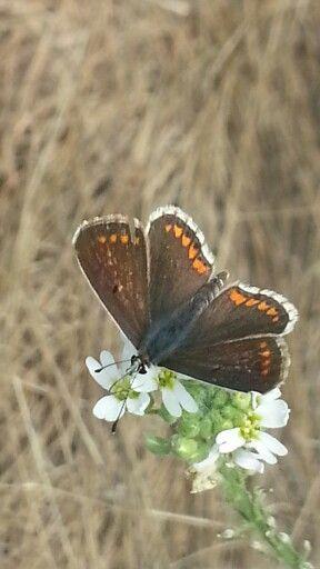 Pillangó...