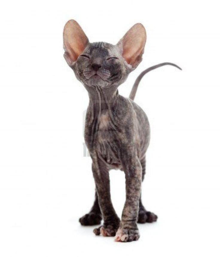 not a fan of cats but Sphynx kitty - That face is adorable!!! i want one :)