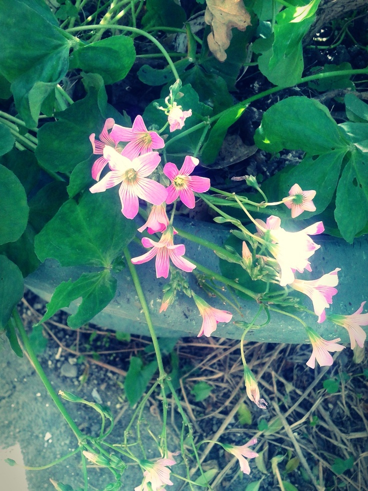 Unknown little pink flowers always bloom when spring comes. #Taiwan: Pink Flowers
