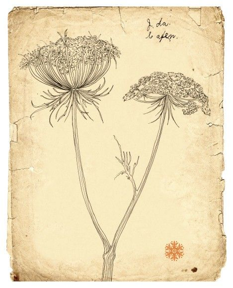 Queen annes lace Line drawing botanical art old paper by ArtGarden, $20.00