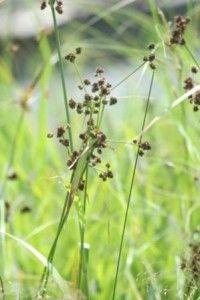 Scripe noirâtre (Scirpus atrovirens).  Famille:  Cyperacée.