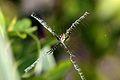 Argiope (spider) - Wikipedia