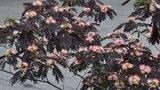 Albizia julibrissin 'Summer Chocolate' silk tree - black mimosa tree