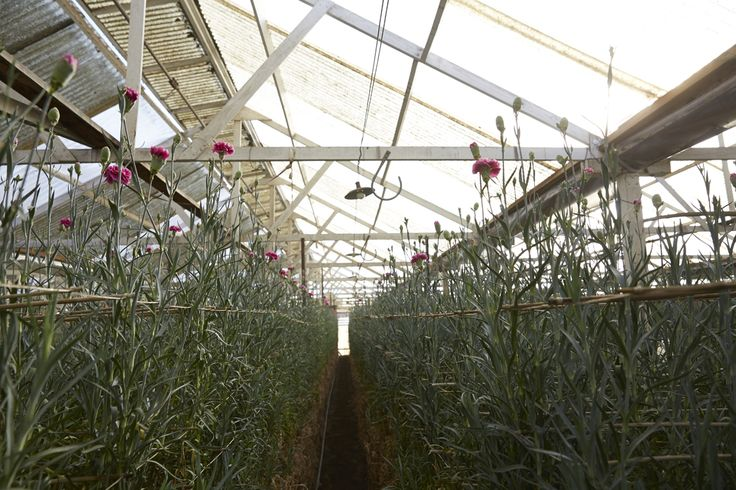 Alternating sections of Fiberglass have been replaced with plastic to allow for additional light for the carnations at Akiyama Nursery!