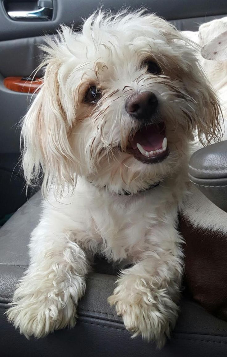 Meet Bubba, an adoptable Maltese looking for a forever home. If you're looking for a new pet to adopt or want information on how to get involved with adoptable pets, Petfinder.com is a great resource.