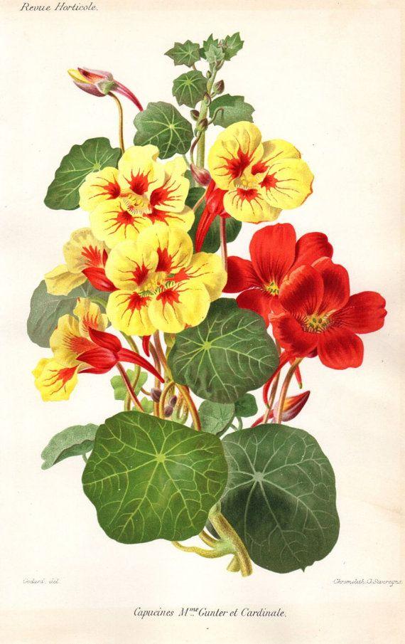 1883 Vintage Botanical Print Capucines by AntiquePrintGallery