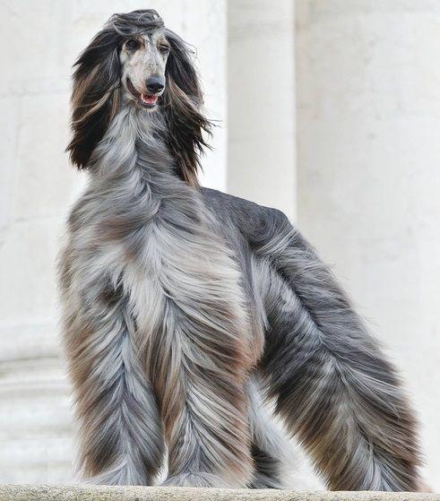 afgan hounds | Afghan_hound_631.jpg