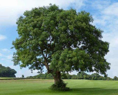 Гороскоп друидов дерево Ясень     Зодиак кельтов. Люди рожденные под знаком Ясеня с 25 мая по 3 июня и с 22 ноября по 1 декабря