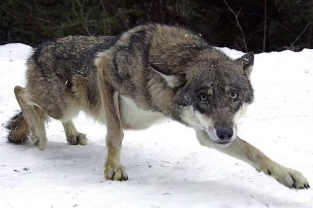 Wounded zombie wolf/ dog reference