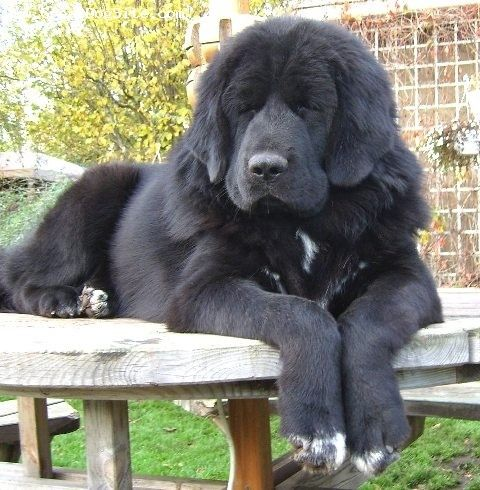 Tibetan Mastiff, 8 Months, Black, On a table. Wow, they are so drooly. But still love em.
