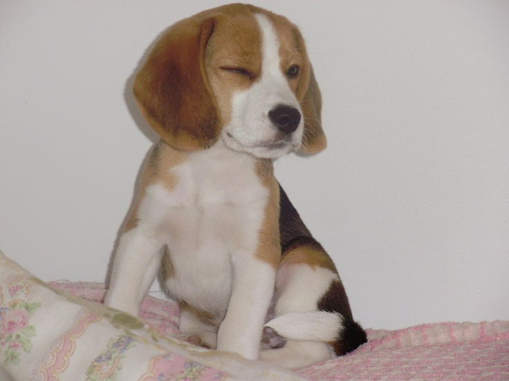 When you get the wink..you know you are hooked on a beagle!!