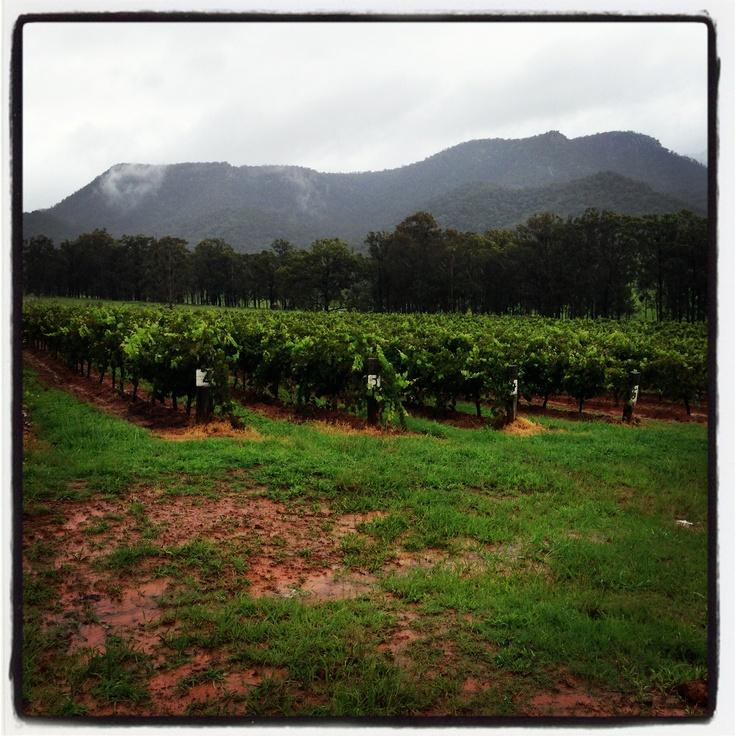 Tyrrells #vineyard #grape fields