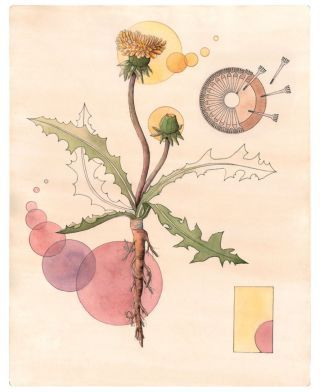 Dandelion can be used as a natural plant dye. The roots produce pink and purple dyes and the plant's flowers produce yellow dyes.