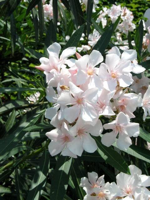 Oleander pospolity (Nerium oleander)