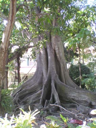 Banyan Tree At Historic Thomas Edison Home Ft Myers Fl