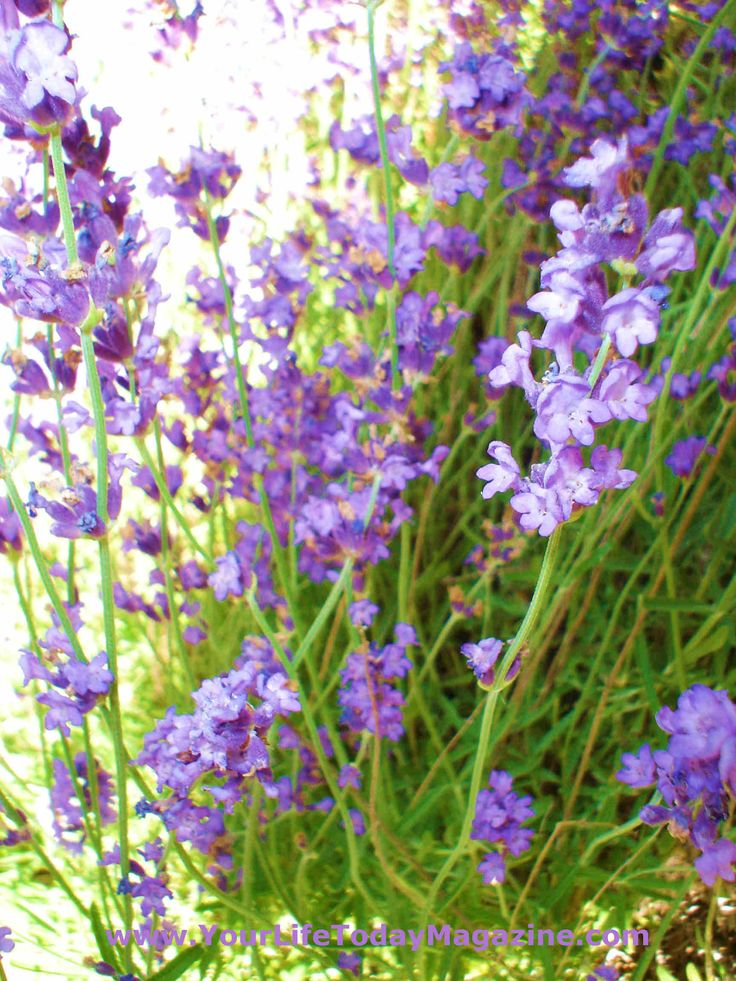 Lavender is beautiful and comes back year after year.  I even enjoy the chore of watering it in the summer.  It smells so good!