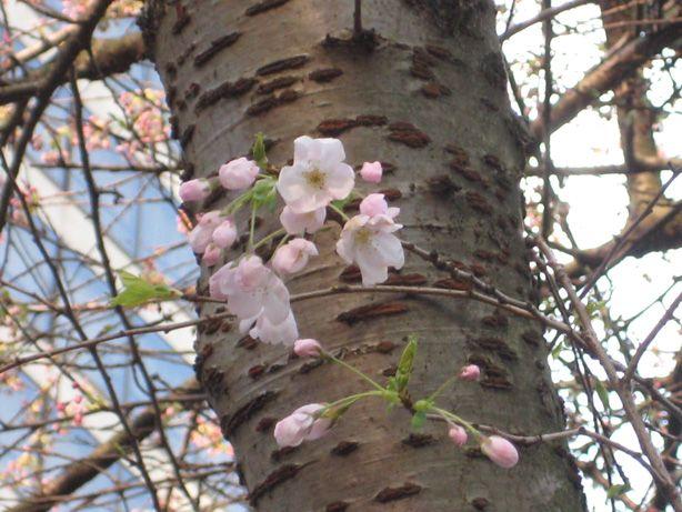 Image Result For Cherry Blossom Tree Bark Cherry Blossom Tree Blossom Trees Blossom