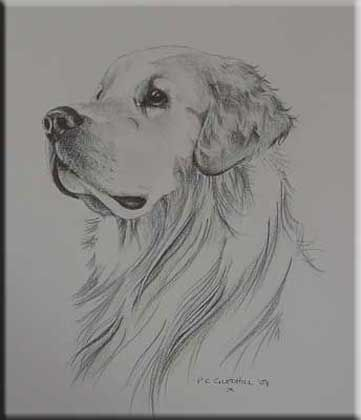 golden retriever pencil drawing