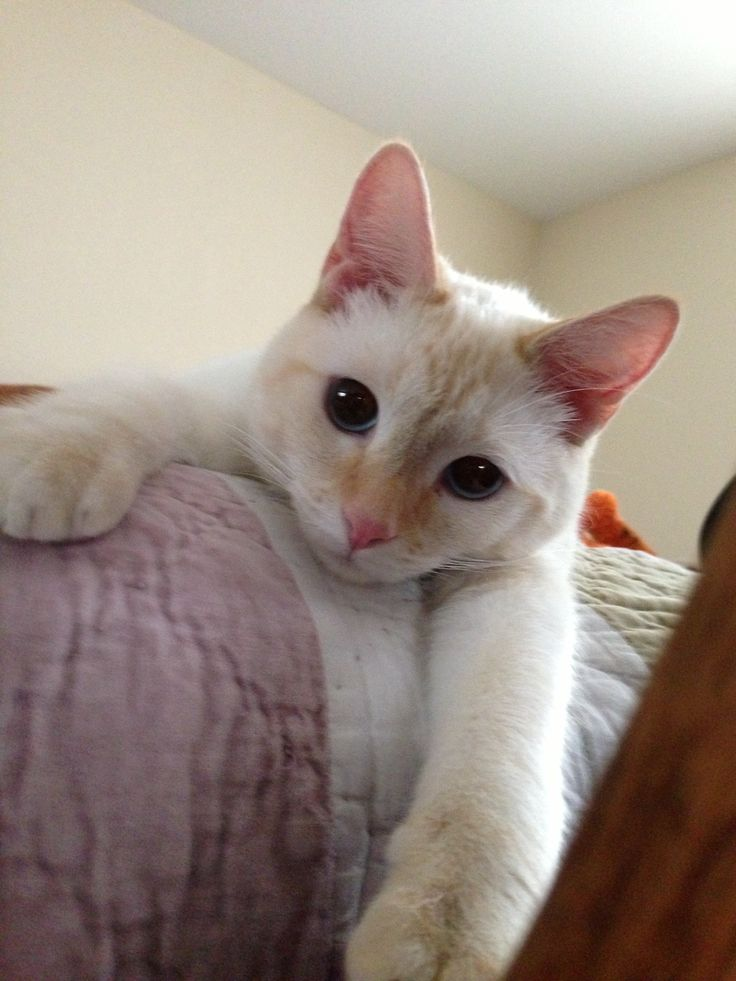 Just hanging around Flame Point Siamese Pinterest