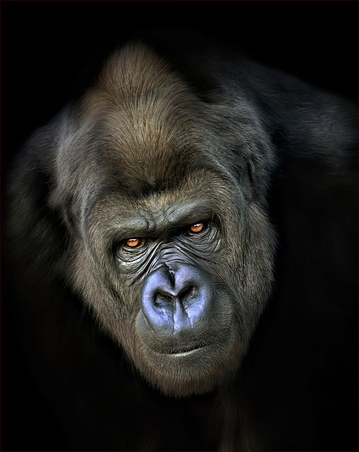 Gorilla | by Paul Keates ✿⊱╮