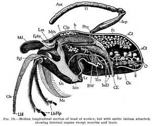 132 best ideas for bees images on pinterest image search bees bee diagram yahoo image search results ccuart Images