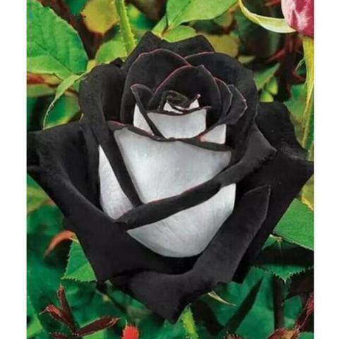 20 colors Rare Rose seeds (20 Seeds) Beautiful Flower Bonsai plants
