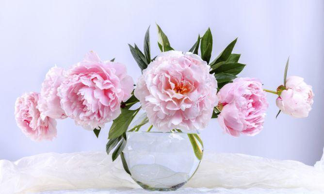 5 ramos de peonias clásicos muy románticos