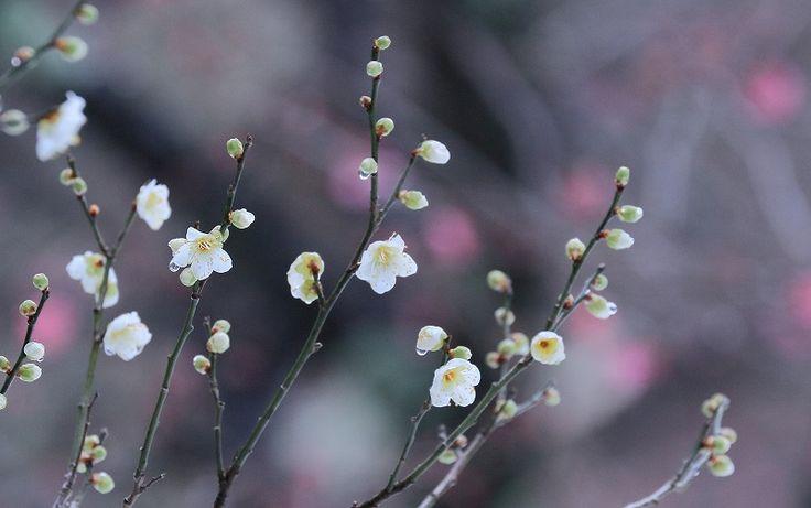 ●1月の兼六園(2) 白梅・青軸・寒紅梅 南天 シデコブシ 松と滴 根上松 翠滝 - ・金沢から発信のブログ 風景と花・