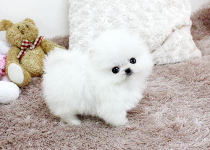 Cute dogs - Spitz nain