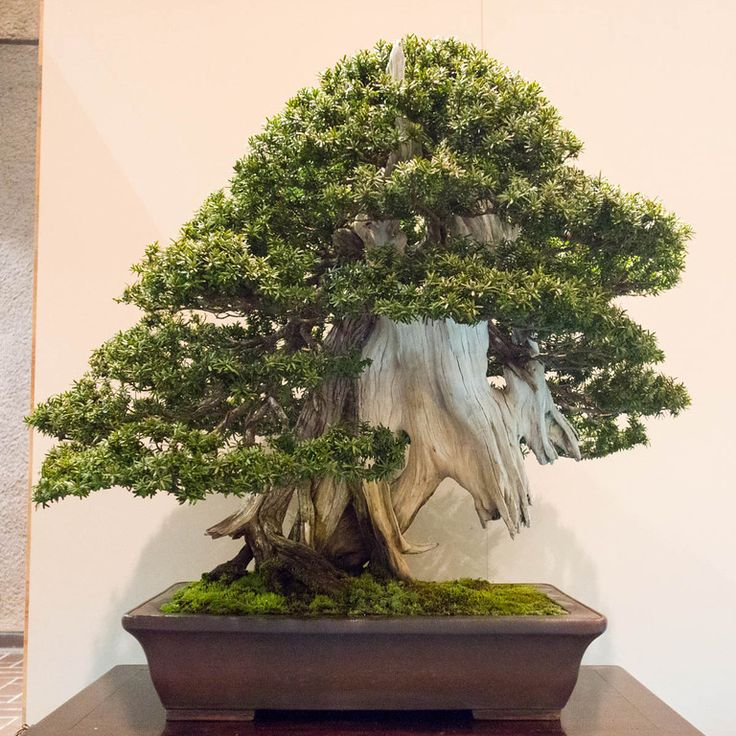 Pin von fernando borges auf bonsai pinterest for Bonsai hydrokultur