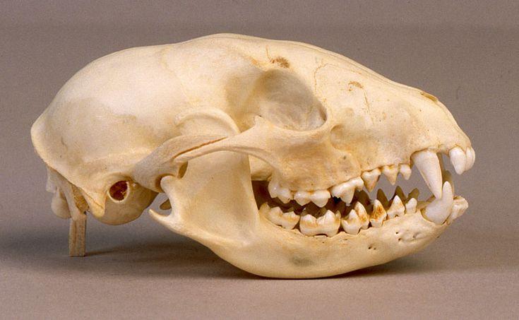 Will's Skull Page - Raccoon Skull