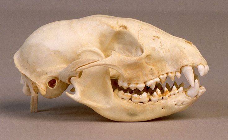 Will's Skull Page - Raccoon Skull