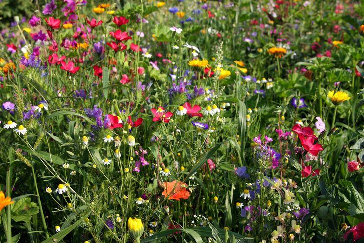 Blumenwiese im Sommer. das etwas andere Geschenk #Blumenwiesenpatenschaft