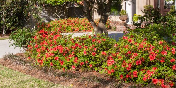 Getting the most from your Encore® Azaleas on West Coast