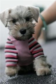 This mini Schnauzer puppy looks like a stuffed toy, so adorable*❤*