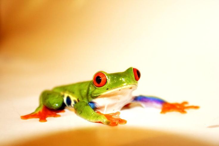 Red Eye Frog Photograph  - Red Eye Frog Fine Art Print