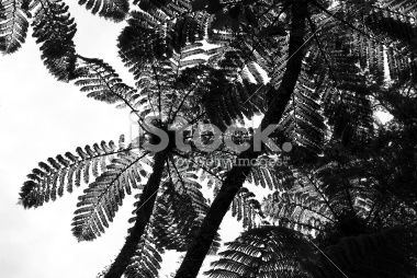 stock-photo-39591288-punga-tree-fern-canopy-new-zealand