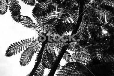stock-photo-39591288-punga-tree-fern-canopy-new-zealand