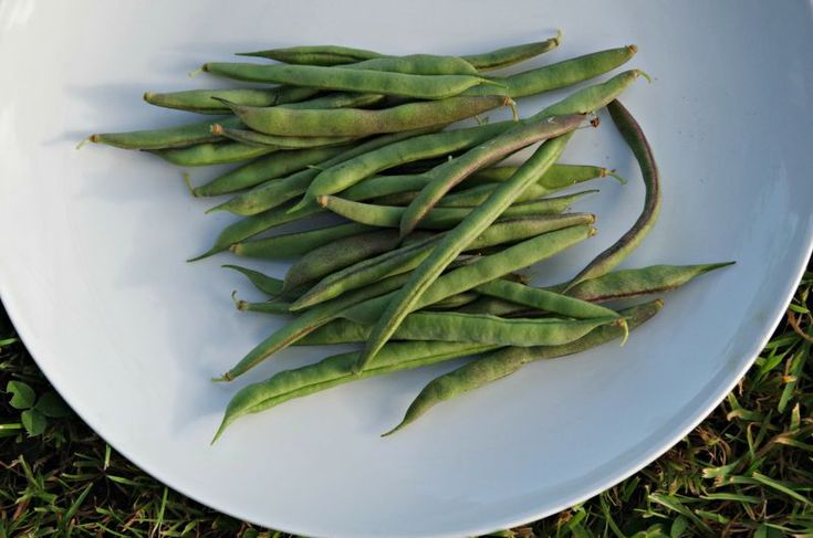 Cherokee Trail of Tears Bean from the Real Seed Company