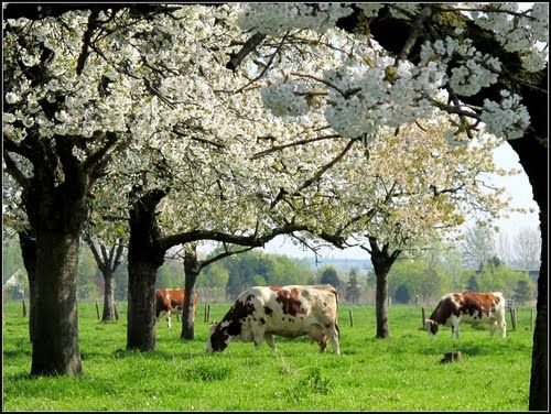 Betuwe. Fruit blossom trees. The Netherlands.